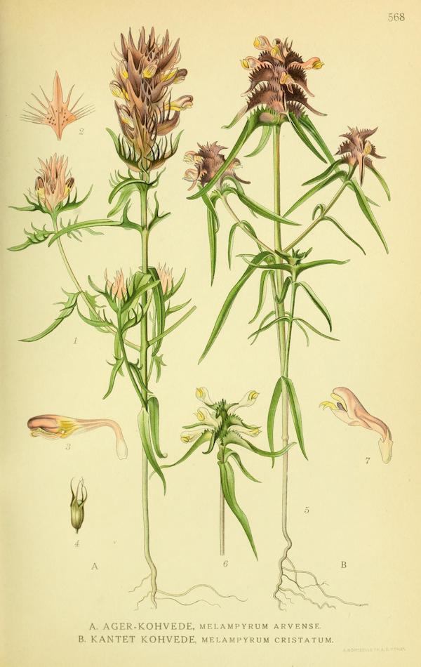 Crested cow-wheat (Melampyrum cristatum) 2