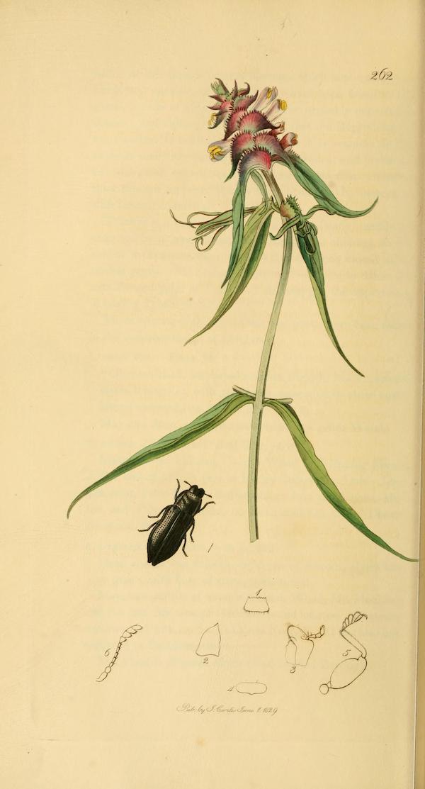 Crested cow-wheat (Melampyrum cristatum)