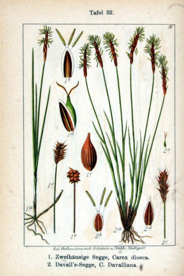 Davall's sedge (Carex davalliana) 2