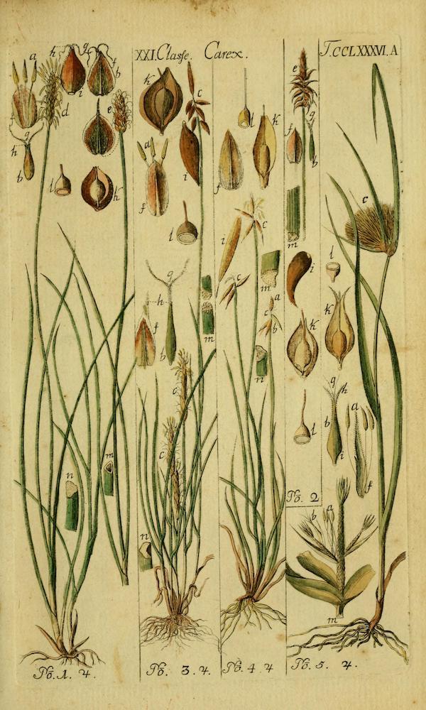 Davall's sedge (Carex davalliana)