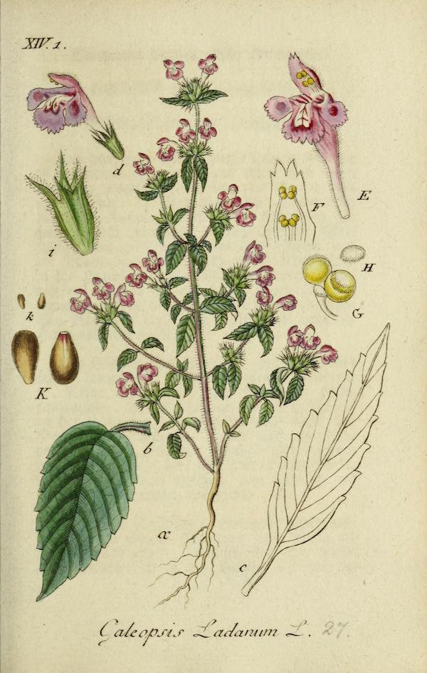 Downy hemp-nettle (Galeopsis segetum) 3