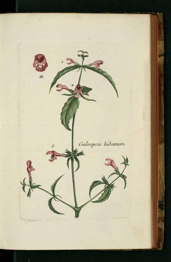 Downy hemp-nettle (Galeopsis segetum) 4