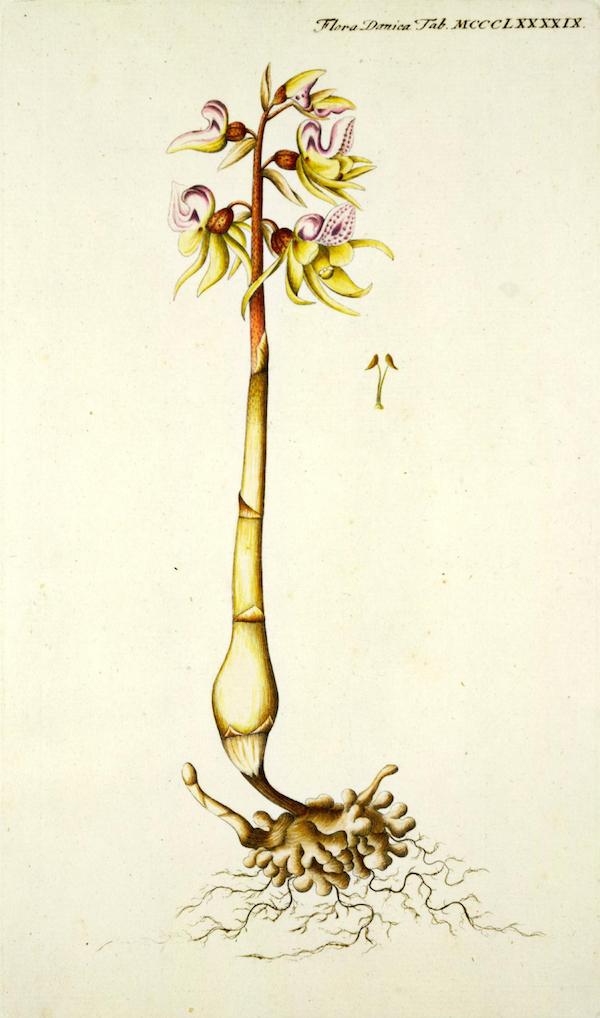 Ghost orchid (Epipogium aphyllum) 3