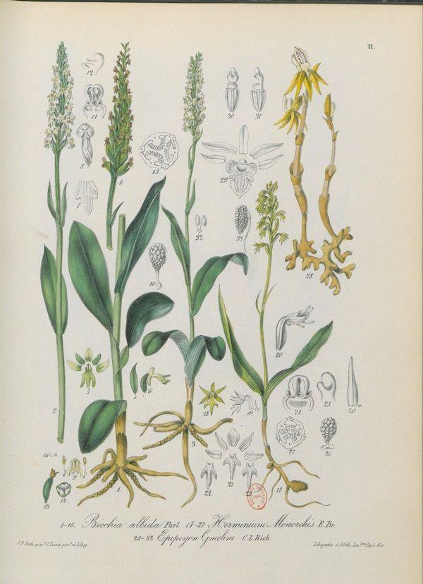 Ghost orchid (Epipogium aphyllum) 4