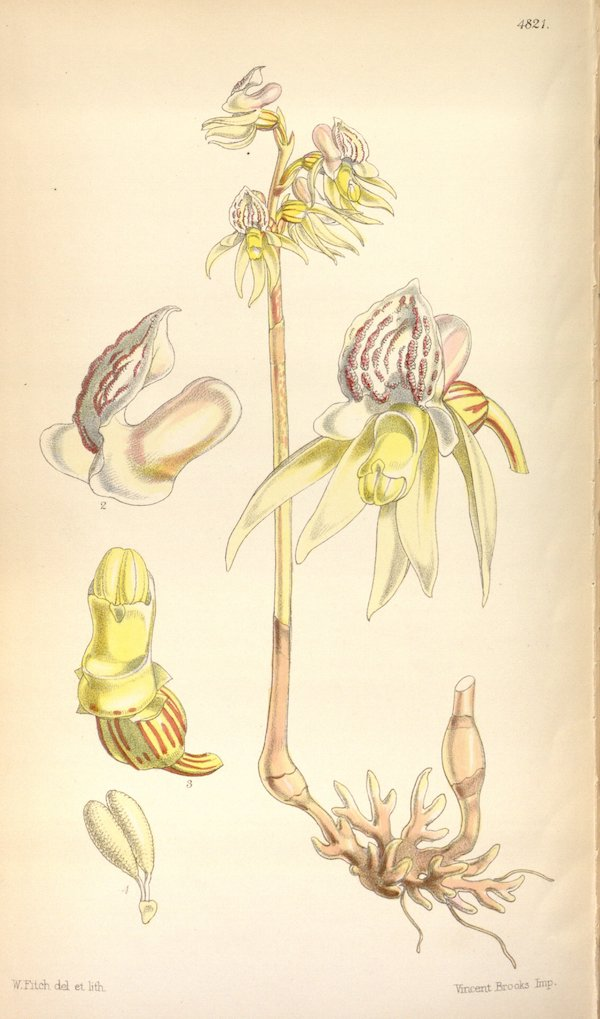 Ghost orchid (Epipogium aphyllum) 5