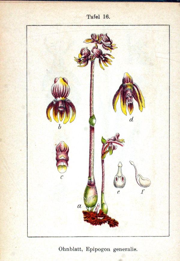 Ghost orchid (Epipogium aphyllum) 6