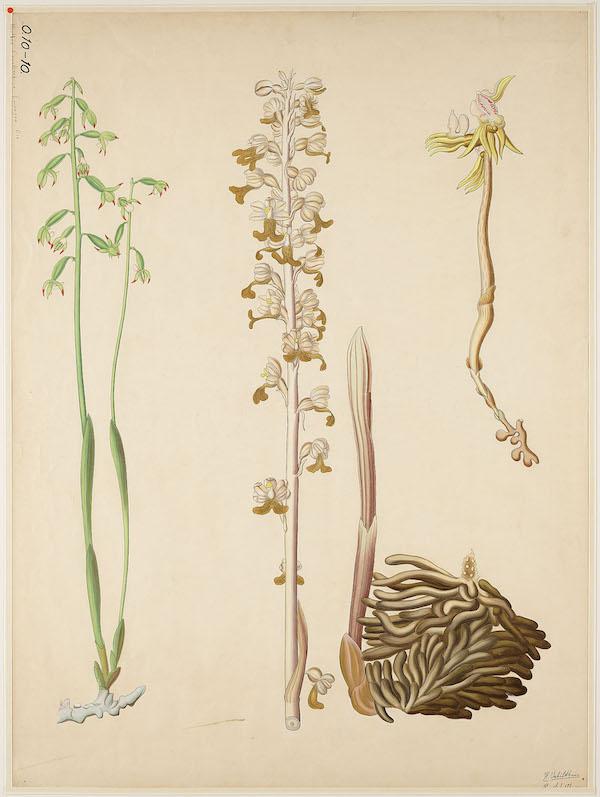 Ghost orchid (Epipogium aphyllum)
