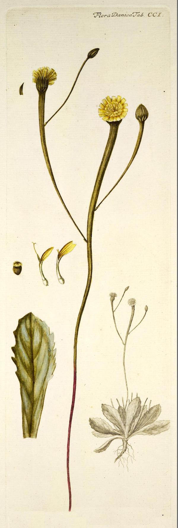 Lamb-succory (Arnoseris minima) 2