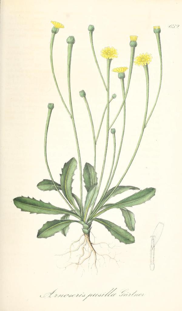 Lamb-succory (Arnoseris minima)