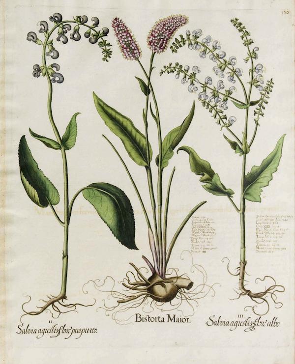 Meadow sage (Salvia pratensis) 2
