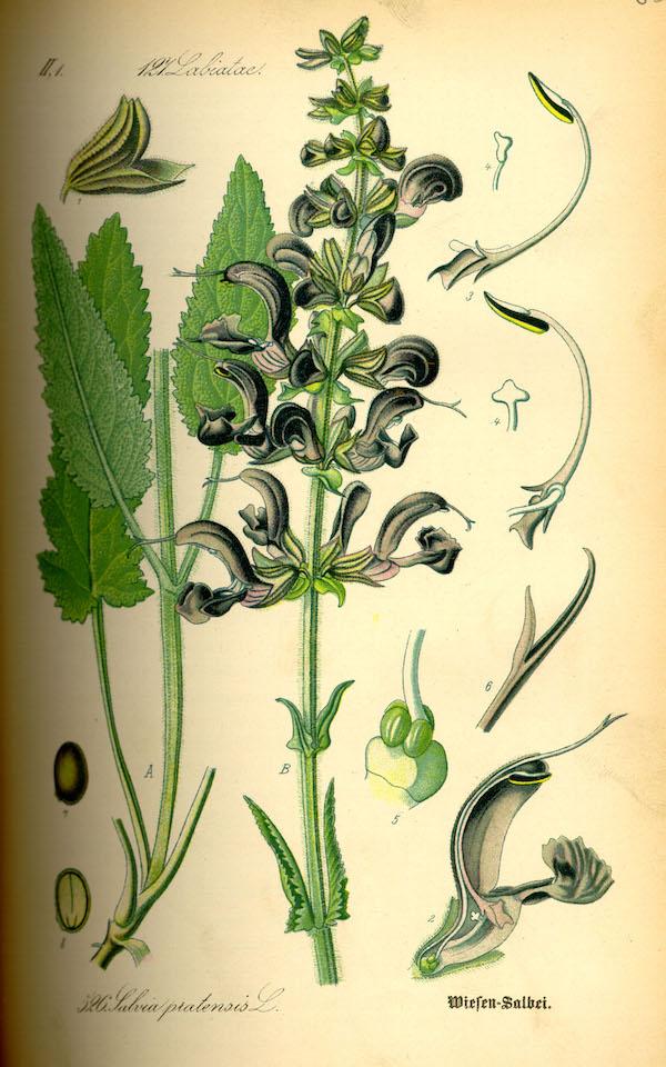 Meadow sage (Salvia pratensis) 3