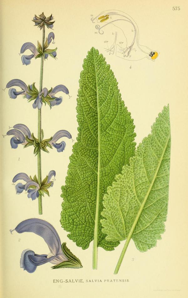 Meadow sage (Salvia pratensis) 4