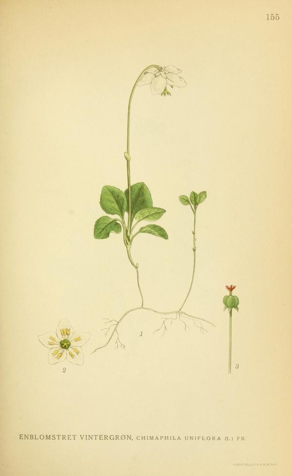 One flowered wintergreen (Moneses uniflora) 4
