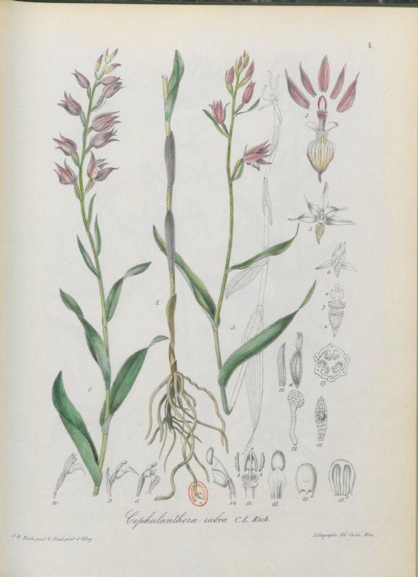 Red helleborine (Cephalanthera rubra) 3