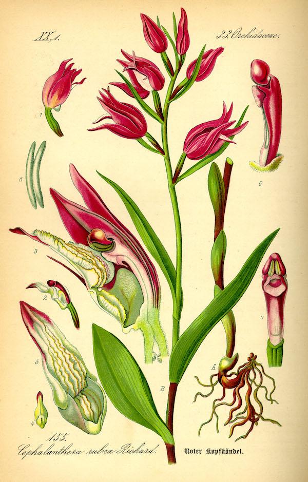 Red helleborine (Cephalanthera rubra) 4