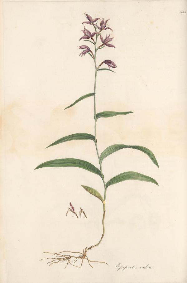 Red helleborine (Cephalanthera rubra) 5