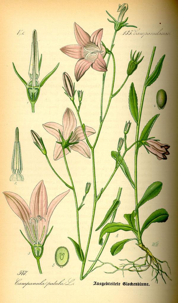 Spreading Bellflower (Campanula patula) 2