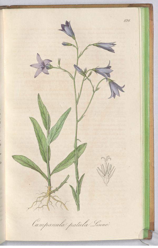 Spreading Bellflower (Campanula patula) 3