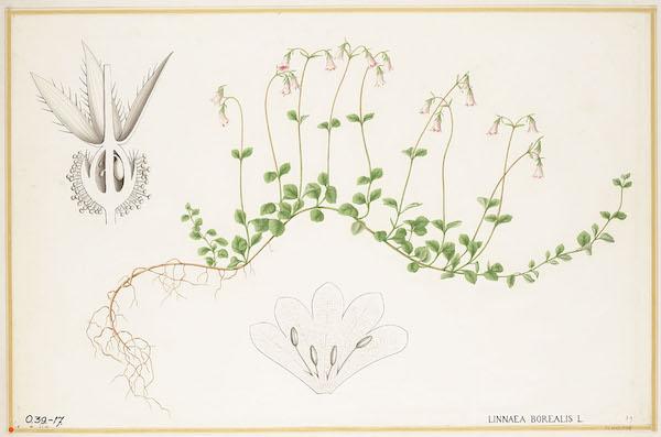 Twinflower (Linnaea borealis) 2