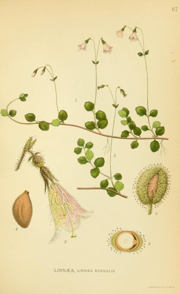 Twinflower (Linnaea borealis) 3