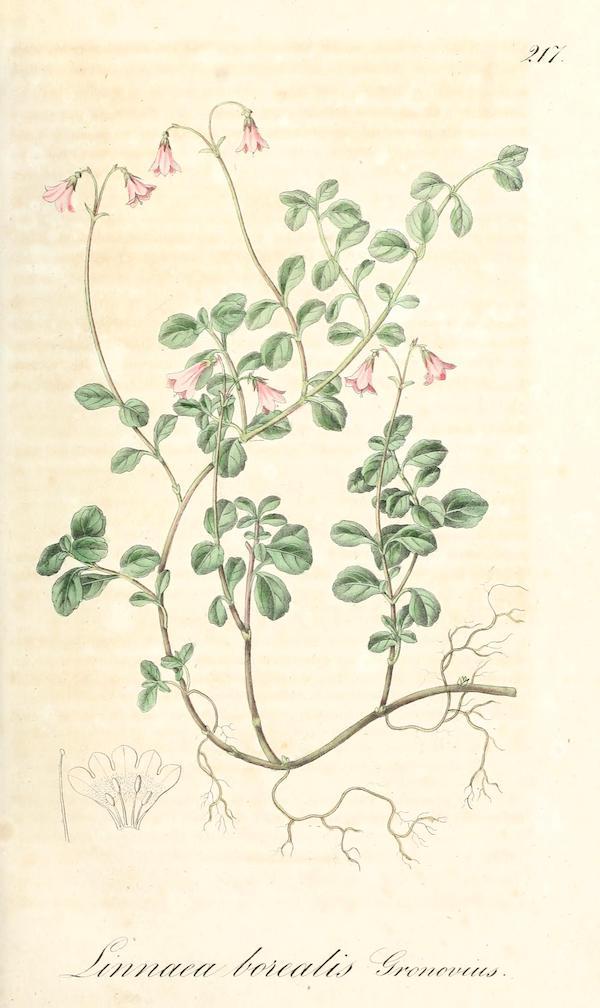 Twinflower (Linnaea borealis) 4