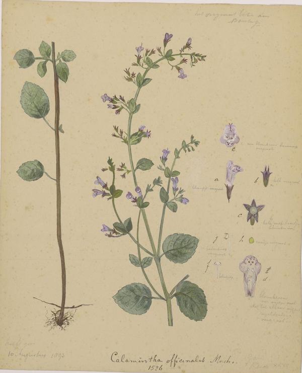 Wood calamint (Clinopodium menthifolium) 2