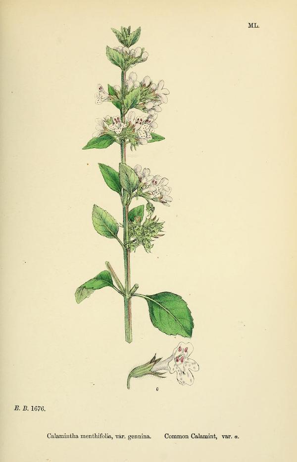Wood calamint (Clinopodium menthifolium) better