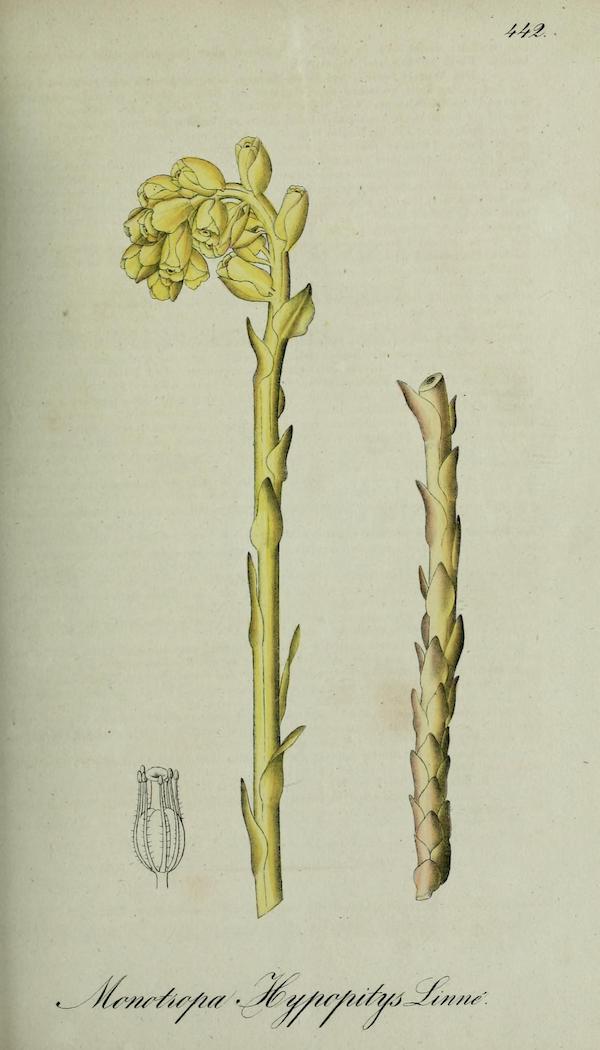 Yellow Birds Nest (Monotropa hypopitys)